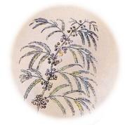 Acacia farnesiana 2.jpg