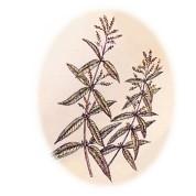 Aloysia_triphylla 2.jpg