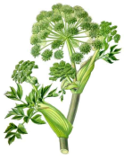 Angelica archangelica 2.png