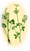 Apium graveolens 2.jpg