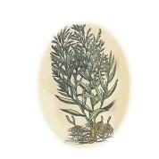 Artemisia dracunculus 2.jpg