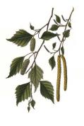 Betula alba 2.png