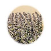 Calamintha officinalis 2.jpg