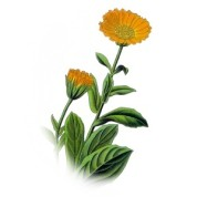 Calendula officinalis 2.jpg