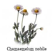 Chamaemelum nobile 2.jpg