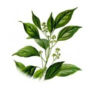 Cinnamomum camphora 2.jpg