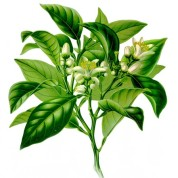 Citrus Bergamia 2.jpg