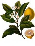 Citrus limon 2.jpg