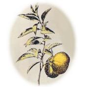 Citrus reticulata 2.jpg