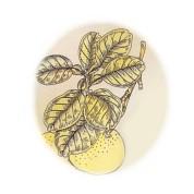 Citrus x paradisi 2.jpg