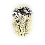 Commiphora erythraea 2.jpg
