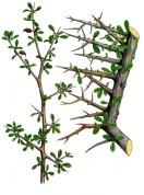 Commiphora myrrha 2.jpg