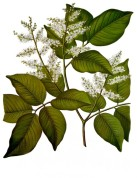 Copaifera officinalis 2.jpg