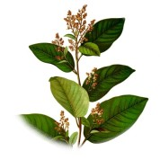 Croton eluteria 2.jpg