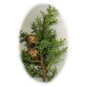 Cupressus sempervirens 2.jpg