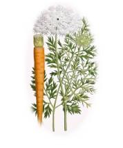 Daucus carota 2.jpg