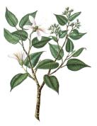 Dryobalanops aromatica 2.png