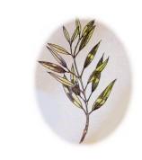 Eucalyptus citriodora 2.jpg