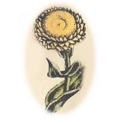 Helichrysum angustifolium 2.jpg
