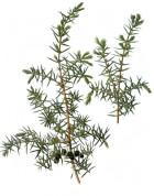 Juniperus communis 2.jpg