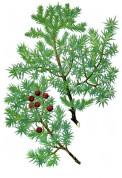 Juniperus oxycedrus 2.jpg