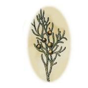 Juniperus virginiana 2.jpg