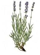 Lavandula angustifolia 2.jpg