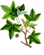 Liquidambar orientalis 2.jpg