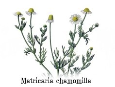 Matricaria chamomilla 2.jpg