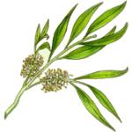 Melaleuca alternifolia 2.jpg