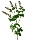 Mentha spicata 2.jpg