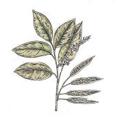 Myrocarpus fastigiatus 2.png