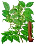 Myroxylon balsamum var.balsamum 2.png