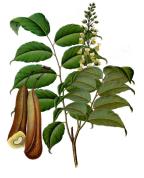 Myroxylon balsamum var.pereirae 2.png