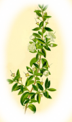 Myrtus communis 2.png