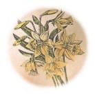 Narcissus poeticus 2.jpg