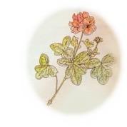 Pelagonium graveolens 2.jpg