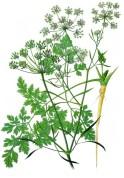 Petroselinum crispum 2.jpg