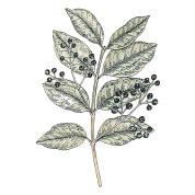 Pimenta raecmosa 2.png