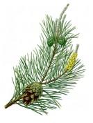 Pinus sylvestris 2.jpg