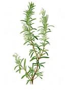 Rosmarinus officinalis 2.jpg