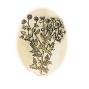 Salvia lavendulaefolia 2.jpg