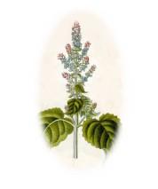 Salvia sclarea 2.jpg
