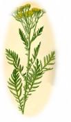 Tanacetum vulgare 2.jpg
