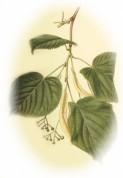 Tilia vulgaris 2.jpg