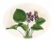 Viola odorata 2.jpg