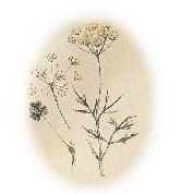pinella anisum 1.jpg